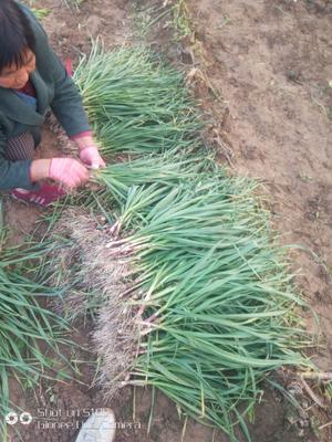 这是一张关于红根蒜苗 45 - 50cm的产品图片