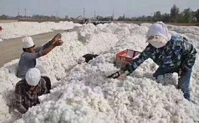 新疆维吾尔自治区阿拉尔市阿拉尔市新疆棉花