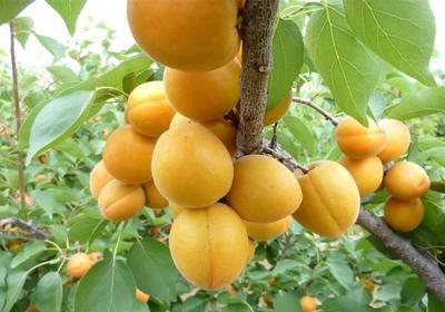 这是一张关于珍珠油杏苗的产品图片