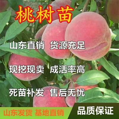 山东省临沂市平邑县红花寿星桃树苗 0.5~1米