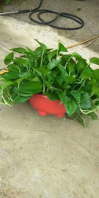 这是一张关于绿萝的产品图片