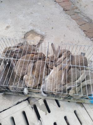 山东省济宁市嘉祥县杂交野兔 3-5斤