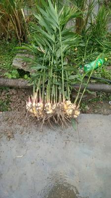 这是一张关于凤头姜 带土 5两以上的产品图片
