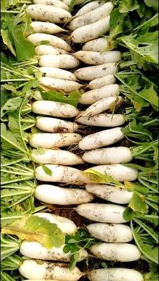 河北省石家庄市新乐市白萝卜 1.5~2斤
