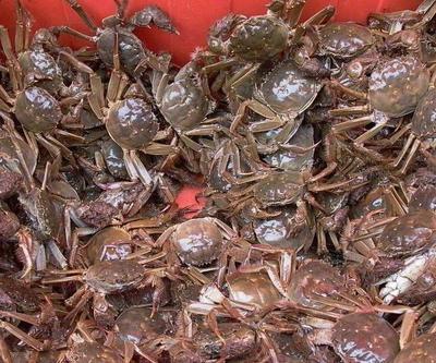 江苏省泰州市兴化市兴化大闸蟹 2.0-2.5两 母蟹