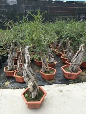这是一张关于小叶榆树的产品图片