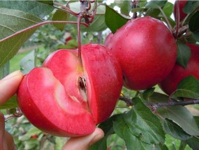 这是一张关于红肉苹果树苗 0.5米以下的产品图片