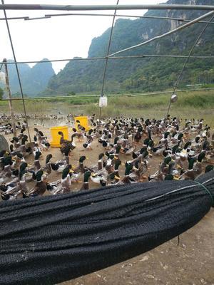 广西壮族自治区南宁市武鸣县青头麻鸭 公 全散养 5-6斤