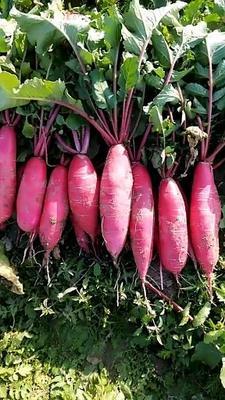 安徽省蚌埠市怀远县大红袍萝卜 1~1.5斤