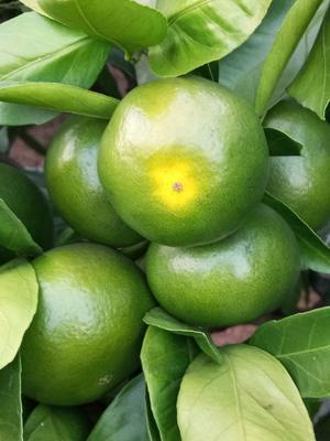这是一张关于温州蜜桔 5.5 - 6cm 1 - 1.5两的产品图片