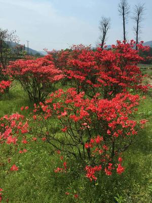 广西壮族自治区桂林市兴安县高山杜鹃 2.0~2.5米