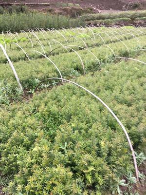 湖北省恩施土家族苗族自治州利川市南方红豆杉 0.5米以下