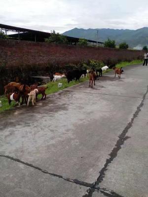 广东省河源市和平县土山羊 30-50斤