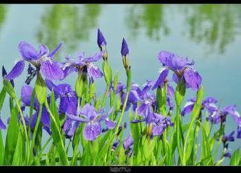 陕西省汉中市镇巴县紫花鸢尾