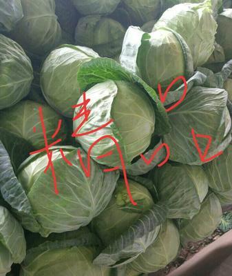 陕西省渭南市蒲城县莲花白包菜 2.0~2.5斤