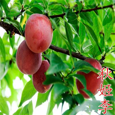 这是一张关于秋姬李子苗的产品图片