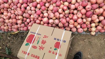 河南省洛阳市宜阳县红富士苹果 纸袋 条红 70mm以上