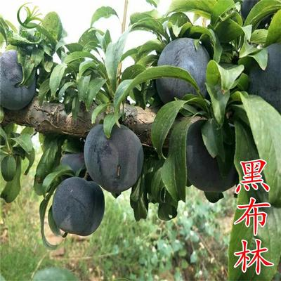 这是一张关于黑布林苗的产品图片