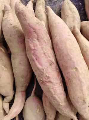河北省沧州市沧县烟薯25 红皮 6两~1斤