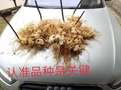 贵州省遵义市凤冈县黄精种子