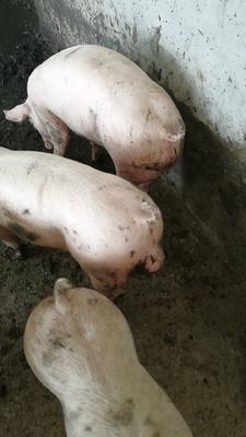 河南省南阳市邓州市三元猪 200-300斤