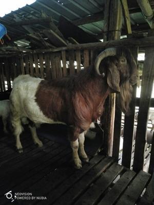 重庆长寿区山羊 50-80斤