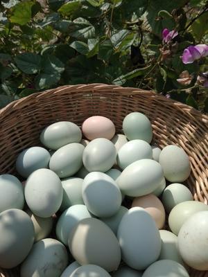 山西省运城市盐湖区绿壳鸡蛋 食用 箱装