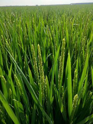 黑龙江省佳木斯市桦川县东北大米 绿色食品 中稻 一等品