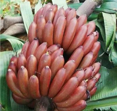 红焦粉蕉皇帝蕉