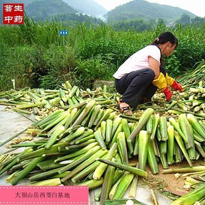 安徽省安庆市岳西县高山茭白 20-25cm