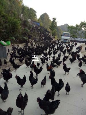 广西壮族自治区河池市东兰县东兰三乌鸡 2-3斤