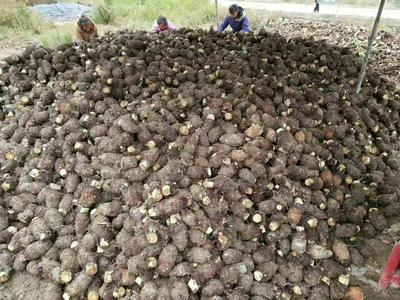 广西壮族自治区桂林市龙胜各族自治县龙香芋 3cm以上