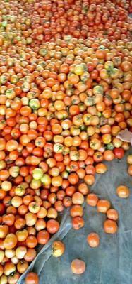 这是一张关于大红西红柿 不打冷 大红 通货的产品图片