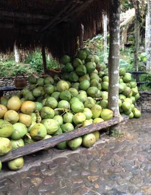 这是一张关于椰青 2.5 - 3斤的产品图片