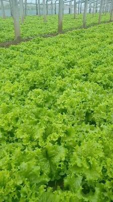 山东省潍坊市青州市散叶生菜 8~9两