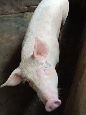 广东省湛江市廉江市长白猪 200-300斤