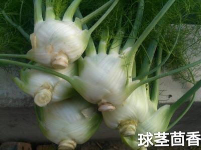 内蒙古自治区包头市固阳县球茎茴香