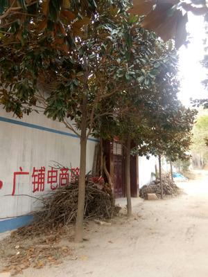 这是一张关于广玉兰的产品图片