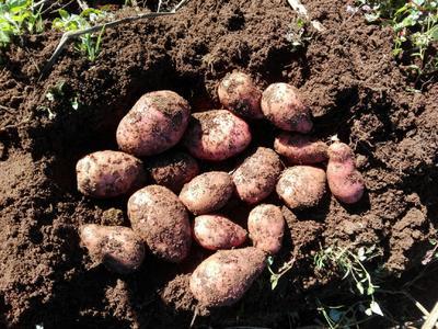 云南省大理白族自治州剑川县合作88号土豆 2两以上