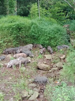 四川省宜宾市屏山县生态土黑毛猪 200-300斤