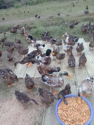 江西省赣州市南康区青头麻鸭 统货 全散养 2-3斤