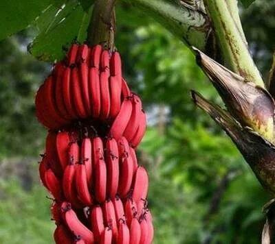 红蕉苗 正品红香蕉苗