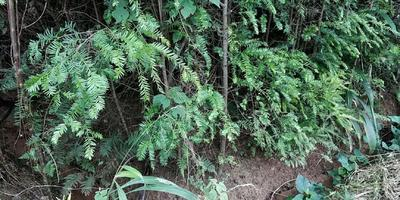 四川省眉山市东坡区南方红豆杉 1.5~2米