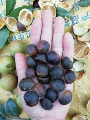 这是一张关于野生白花山茶籽的产品图片