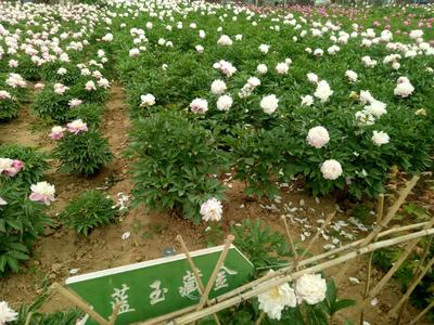 山东省菏泽市牡丹区多花芍药 2cm以下 0.5~1米