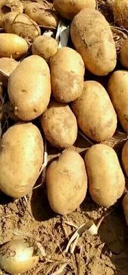 陕西省榆林市定边县黄心土豆 3两以上