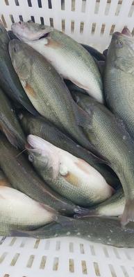 湖北省黄冈市黄州区淡水鲈鱼 人工养殖 1-1.5公斤