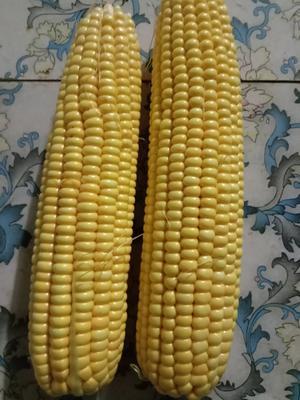 河南省南阳市宛城区甜玉米 黄粒 鲜货