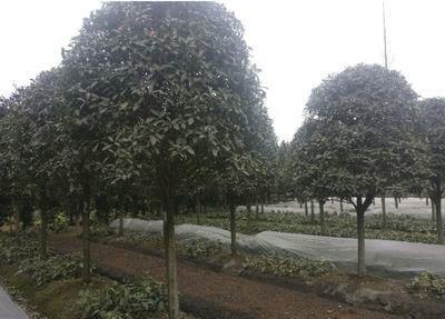 四川省成都市郫县桂花树