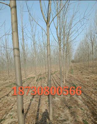 河北省衡水市枣强县速生白蜡 2.5~3米